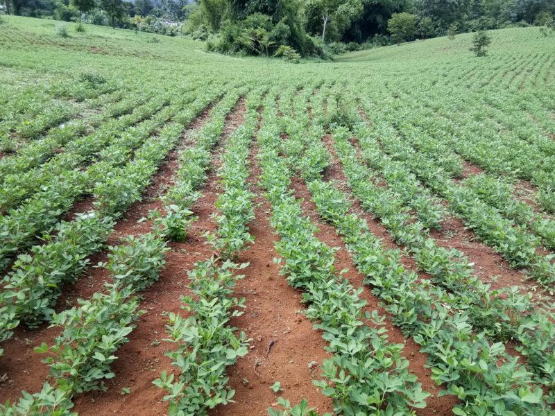 Groundnut filed , Hseng Jar village